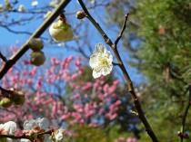 いのはな亭の梅の花