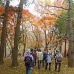 楓(マンサク科)と槭(カエデ科)実は違う種類の樹です。