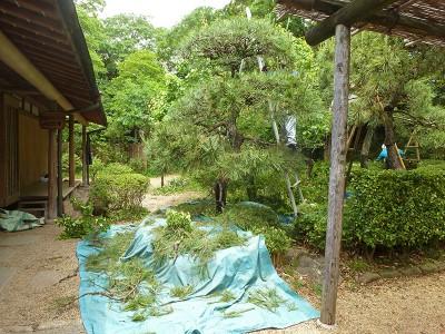 日本庭園の剪定作業