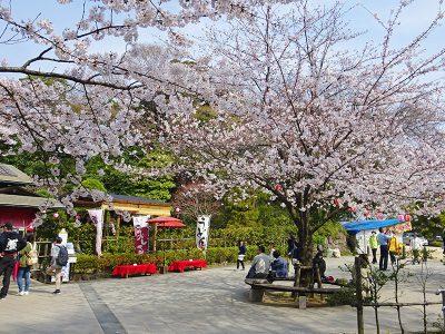 いのはな亭の桜